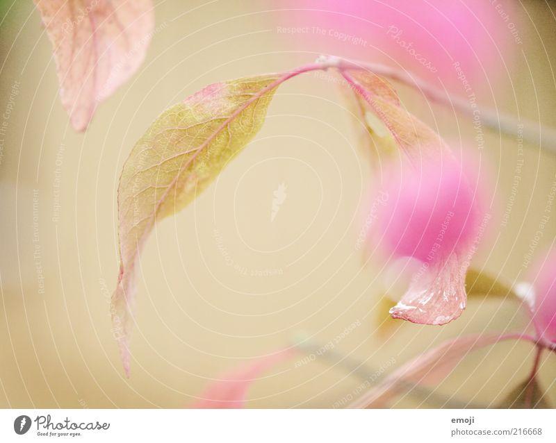 Liebeserklärung Natur Blume Pflanze Blatt Blüte Frühling rosa Hintergrundbild Wassertropfen Tau Anschnitt Bildausschnitt Blattadern Grünpflanze Makroaufnahme
