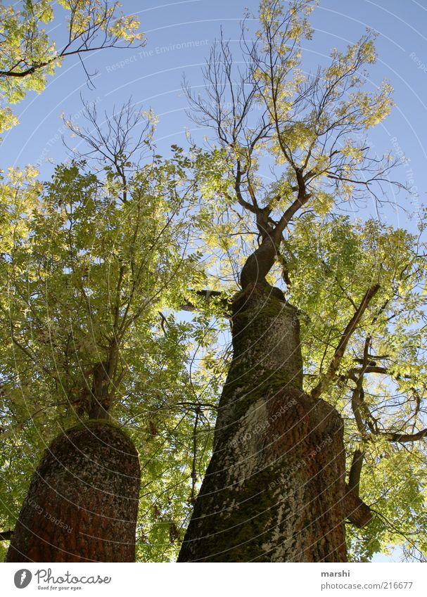 Blick nach oben Natur Baum groß blau braun grün Blatt alt Himmel Baumrinde Ast verzweigt Herbst herbstlich Farbfoto Außenaufnahme Wolkenloser Himmel