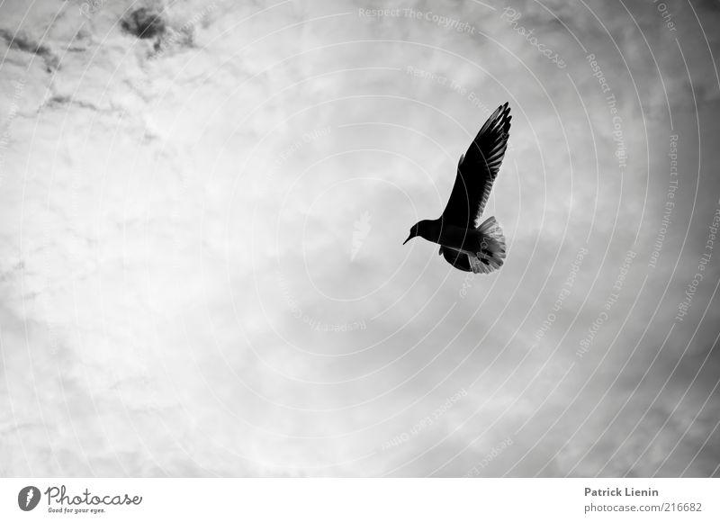 learning to fly Umwelt Natur Tier Himmel Wolken Wetter Wildtier Vogel Flügel 1 fliegen ästhetisch einfach frei schön natürlich Stimmung Möwe Schweben