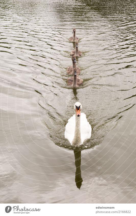 Familie Natur Sommer schön Wasser weiß Tier Herbst natürlich Bewegung grau Schwimmen & Baden Zusammensein wild Park frei Wachstum