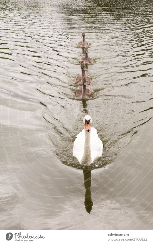 Familie Natur Tier Wasser Sommer Herbst Park Wildtier Schwan Tiergruppe Tierfamilie Bewegung Blick Schwimmen & Baden Wachstum frei Zusammensein schön nass