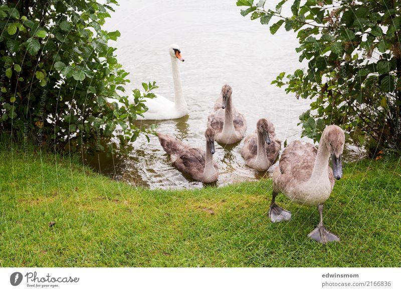 Auf zu neuen Abenteuern Natur Tier Sommer Herbst Gras Park Wildtier Schwan Tiergruppe Tierfamilie beobachten Bewegung laufen Blick Wachstum frei Zusammensein
