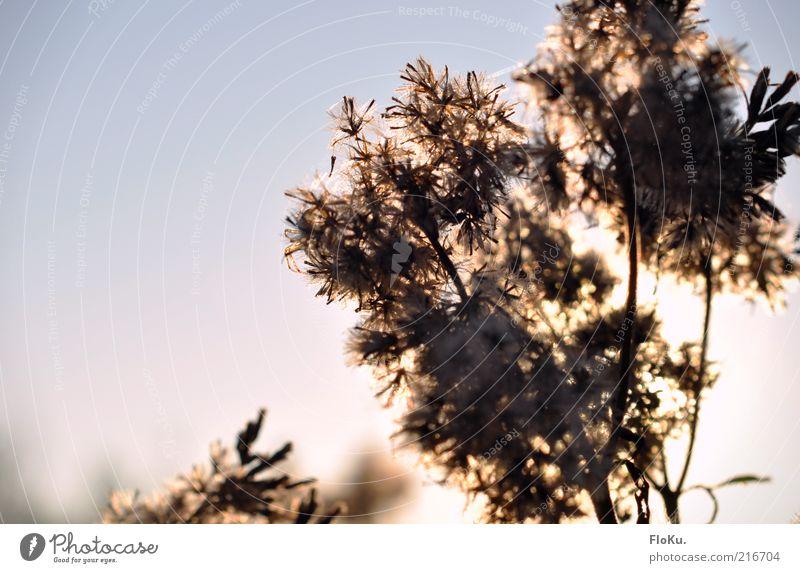 Pollenschleuder Natur weiß blau Pflanze Blatt schwarz Herbst Blüte Gras Stimmung hell rosa Umwelt leuchten Schönes Wetter Silhouette