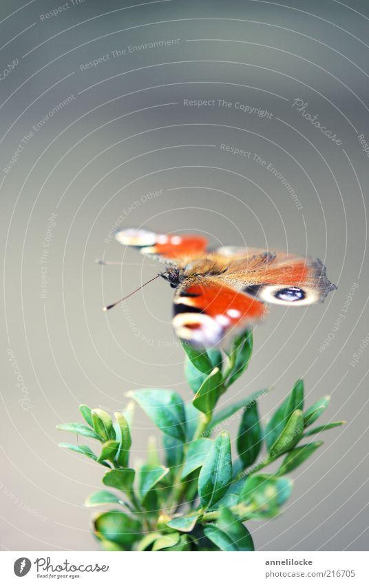 Pfauenauge Natur schön grün Pflanze Blatt Tier grau Umwelt fliegen sitzen Sträucher Flügel Schmetterling Fühler krabbeln