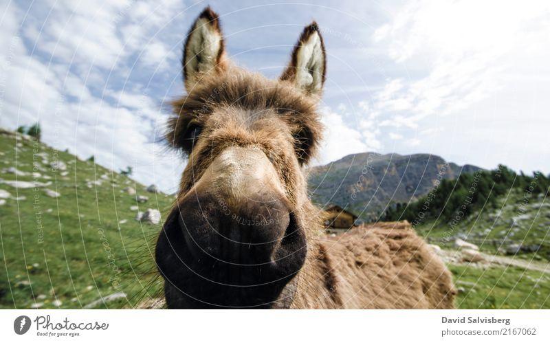 Donkey wandern Himmel Schönes Wetter Wiese Feld Wald Hügel Felsen Alpen Berge u. Gebirge Alm Almwirtschaft Kuh Pferd Fell Pfote Eselsohr 1 Tier frech
