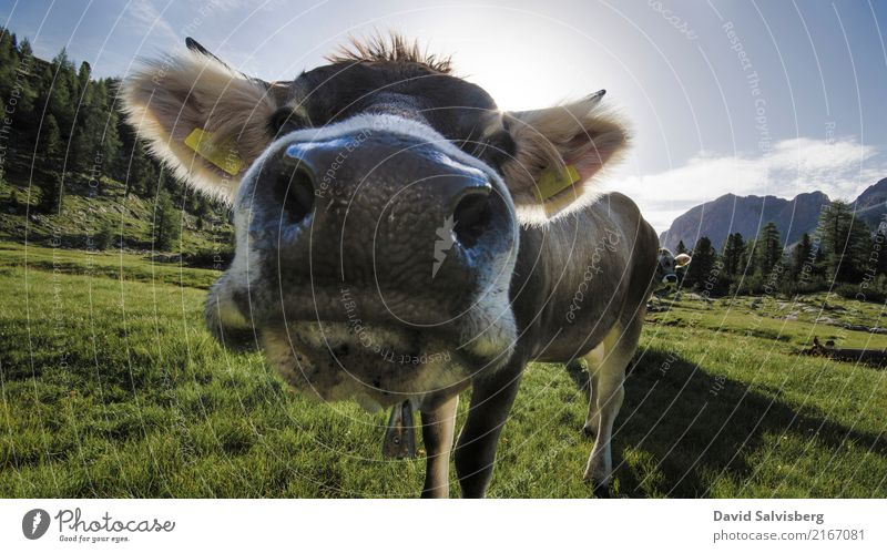 Cow Cow Jagd wandern Natur Landschaft Himmel Sonne Schönes Wetter Gras Wiese Feld Wald Hügel Alpen Berge u. Gebirge Gipfel Tier Nutztier Kuh Pferd Tiergesicht