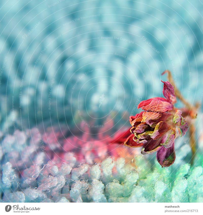 flower Blume blau Pflanze Blüte klein rosa violett Vergänglichkeit trocken einzeln vertrocknet Textfreiraum links mehrfarbig Blütenblatt verblüht