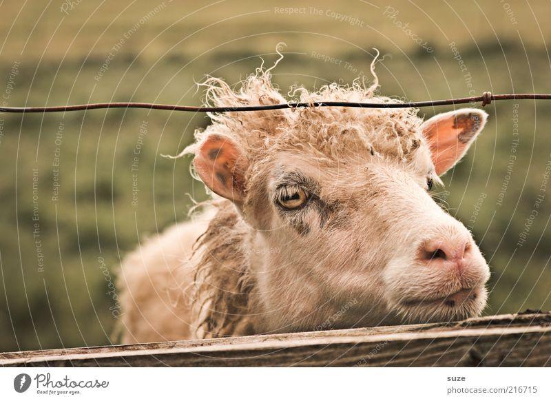 Nüscht los hier Natur Tier Wiese Auge natürlich authentisch warten niedlich Fell Ohr Landwirtschaft Zaun Tiergesicht Weide Schaf Langeweile