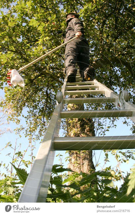Apfelfänger Freizeit & Hobby 1 Mensch Umwelt Natur Klima Baum Blatt Ernte Herbst Baumkrone Leiter oben Kescher grün ökologisch Bioprodukte Garten Eigenanbau