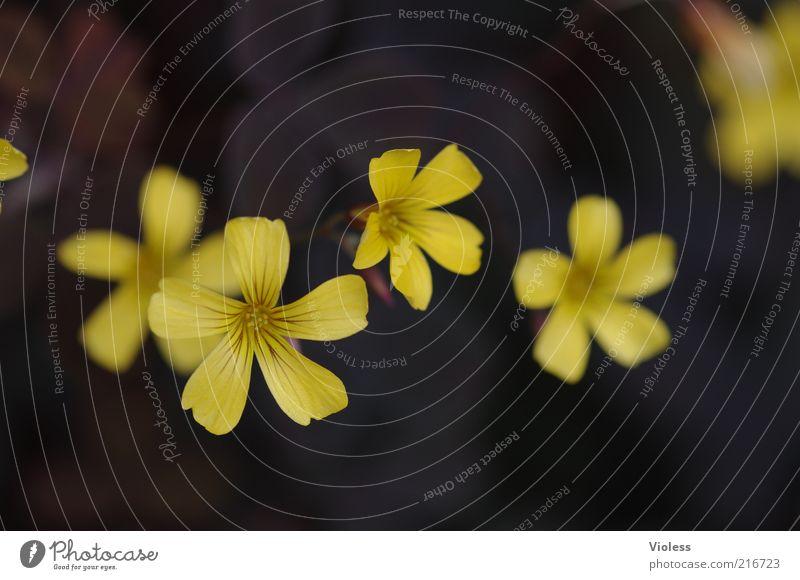 [HH10.1] - aus der Rolle fallen Natur Blume Pflanze gelb Blüte Blühend Blütenblatt
