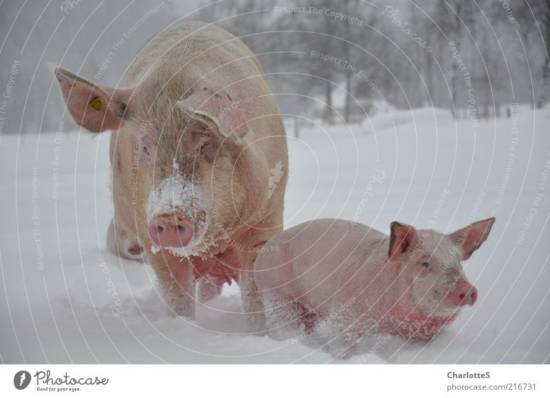 Schweinewanderung Winter Tier kalt Schnee Bewegung Glück Tierjunges Feld Umwelt gehen rosa Nebel Zufriedenheit Tiergesicht beobachten Tiergruppe