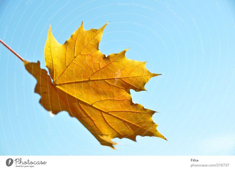 Leaf Blatt gelb Herbst braun Schönes Wetter Blauer Himmel Blattadern Herbstlaub herbstlich Ahornblatt Blattunterseite