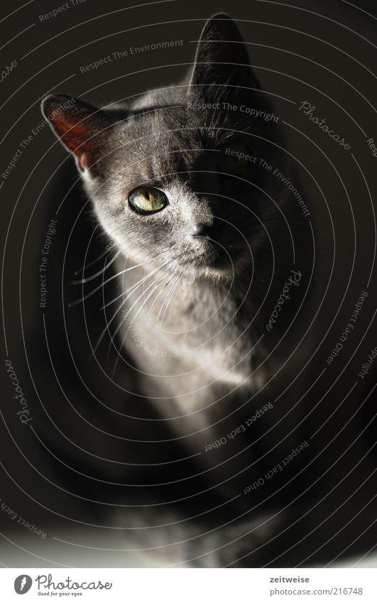 kleine graue katze schwarz Tier Katze sitzen Tiergesicht beobachten Fell Neugier niedlich Haustier kuschlig Hauskatze fixieren Schnurrhaar Katzenauge