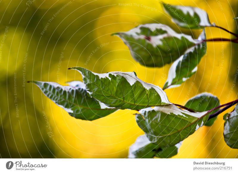 Herbstwind Natur Pflanze Sträucher Blatt Grünpflanze gelb grün weiß Blattgrün Blattunterseite herbstlich Herbstbeginn Wärme Blattadern Maserung Färbung Farbfoto