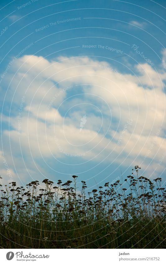 ins blaue hinein Pflanze Himmel Wolken Schönes Wetter Gras Sträucher Wildpflanze Feld Blühend Wachstum einfach trist Langeweile Umwelt Vergänglichkeit