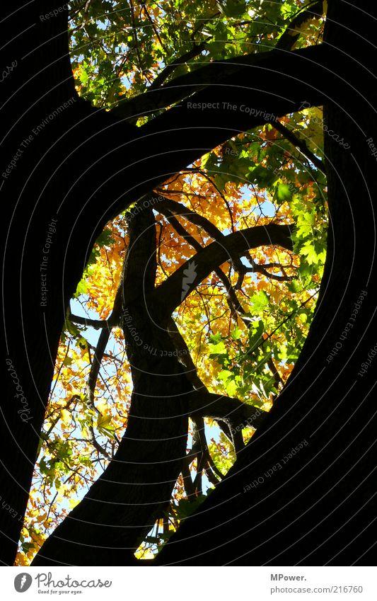 Goldener Oktober Natur Himmel Baum grün Blatt schwarz gelb Herbst oben Holz orange Gold gold Ast natürlich Kurve