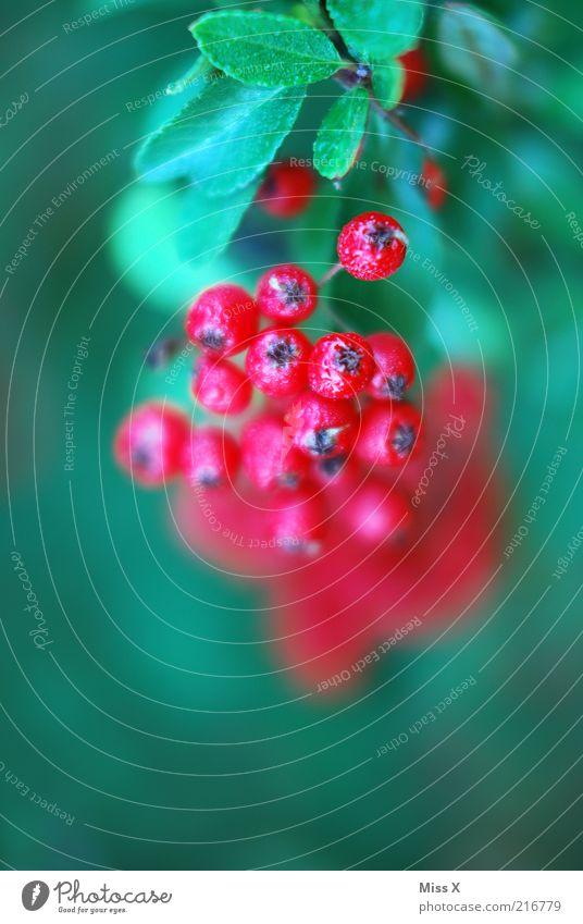 beerig Natur Herbst Pflanze Baum Sträucher saftig sauer süß rot Gartenpflanzen Beeren Beerensträucher Farbfoto mehrfarbig Außenaufnahme Nahaufnahme