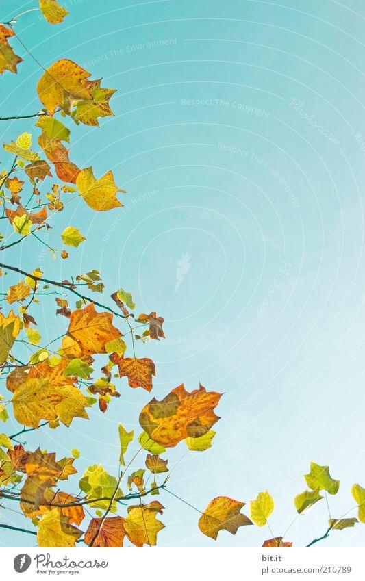 Frisch in den Herbst...(VI) Umwelt Natur Luft Himmel Wolkenloser Himmel Wetter Pflanze Blatt blau mehrfarbig gelb gold Perspektive Vergänglichkeit Wachstum