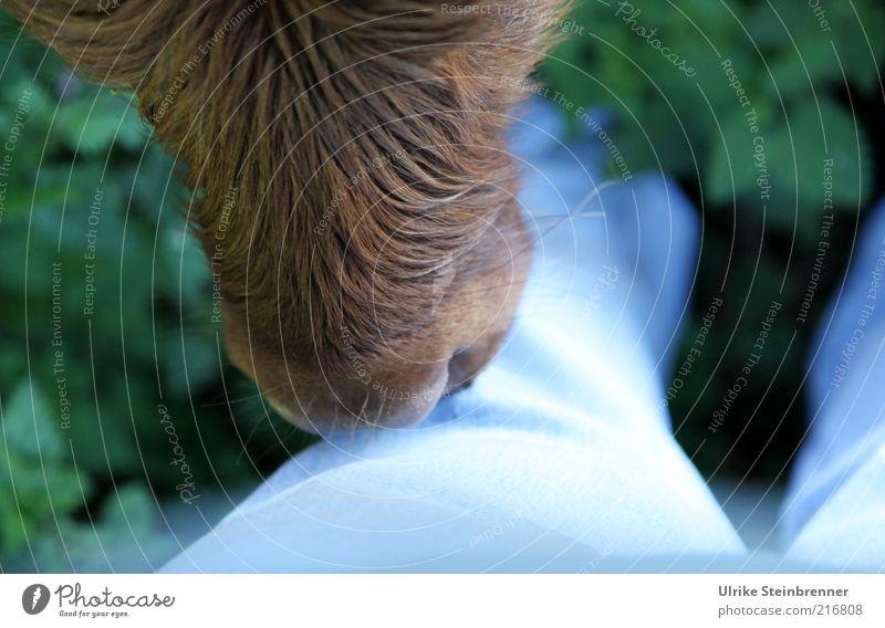Ich glaub, mich knutscht ein .... Beine 1 Mensch Jeanshose Stoff Tier Nutztier Kuh Fell Tierjunges berühren Küssen kuschlig nass Neugier blau braun Vertrauen