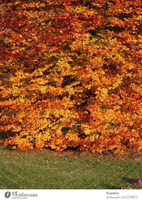 Es herbstelt Umwelt Natur Pflanze Erde Herbst Wetter Schönes Wetter Baum Buche Wiese Stimmung ruhig Blatt Herbstlaub rot orange gelb grün braun Rasen Vielfältig