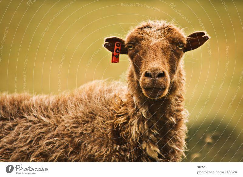 Mein Name is Bond Tier Nutztier Tiergesicht 1 authentisch lustig Neugier niedlich wild braun Føroyar Schaf Wolle Tierzucht Viehzucht beobachten