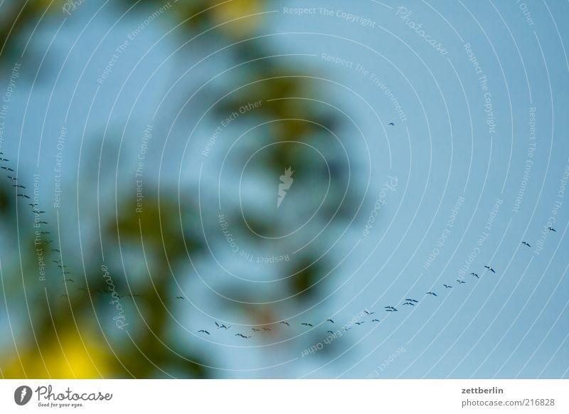 Gänse Natur Himmel Ferne Vogel Wetter Umwelt fliegen Reihe Tier Geäst Formation Oktober fliegend Schwarm Vogelschwarm Wolkenloser Himmel