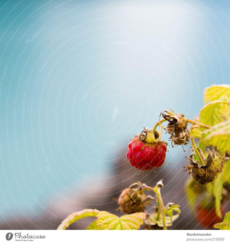 """Eine """"Q"""" Himbeere Lebensmittel Frucht Bioprodukte Natur Pflanze Sommer Sträucher verblüht Wachstum Gesundheit natürlich blau rot Farbe Himbeeren Beeren lecker"""