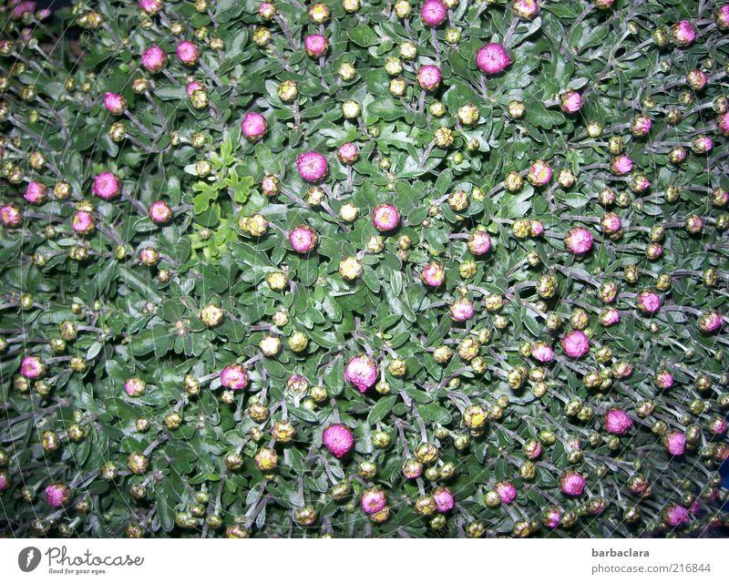 Teppich aus 278 Knospen Natur schön Farbe Blume Freude Liebe Gefühle Herbst Blüte rosa Wachstum frisch Beginn ästhetisch Blühend viele