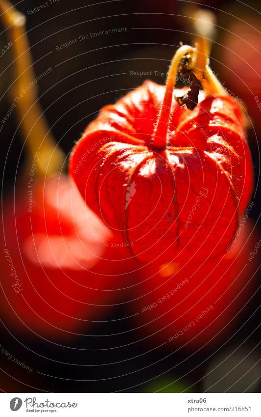 der herbst kann schön sein Umwelt Natur Pflanze ästhetisch authentisch Farbfoto Außenaufnahme Nahaufnahme Detailaufnahme Samen Kapsel rot