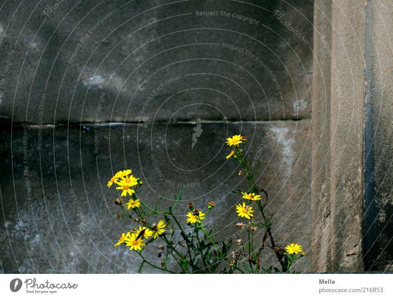 Edinburgher Stadtbewuchs Umwelt Natur Pflanze Blume Blüte Wildpflanze Bauwerk Gebäude Mauer Wand Blühend Wachstum alt dunkel natürlich positiv rebellisch gelb