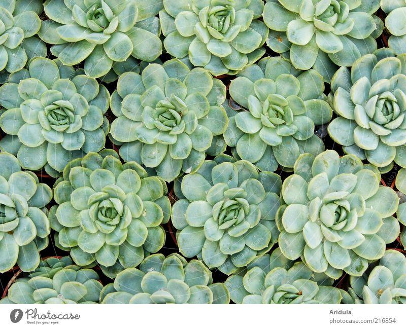 Sempervivum Umwelt Natur Pflanze Steingartenpflanzen grün Blatt Wachstum Leben Bodendecker rund Außenaufnahme Muster Strukturen & Formen Fraktal Fraktale