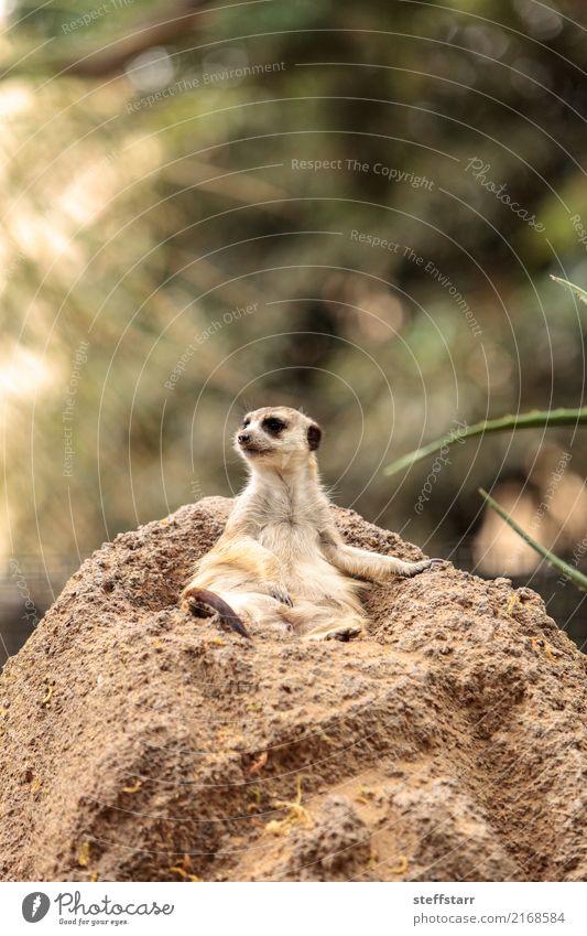Erdmännchen, Suricata suricatta Tier Felsen Wildtier Tiergesicht 1 Stein wild braun gelb grün Tierwelt Beutetier herausschauen Manguste Kalahari Afrika Namibia