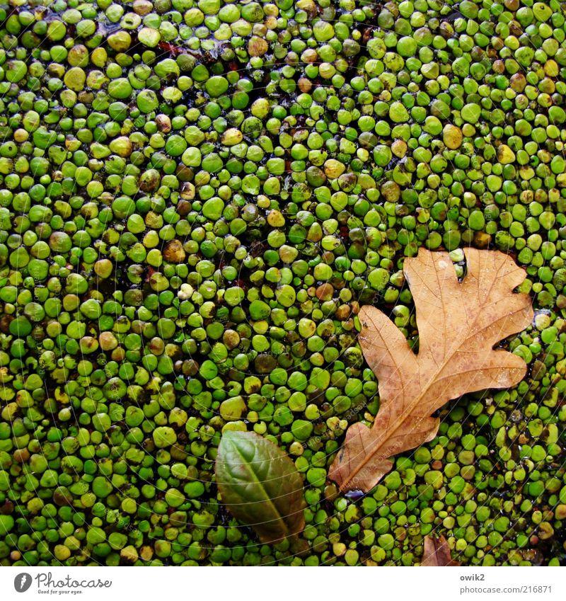 Bad in der Menge Umwelt Natur Pflanze Herbst Blatt Wildpflanze Wasserlinsen Wasseroberfläche Wachstum einzigartig nass natürlich wild braun grün Zusammenhalt