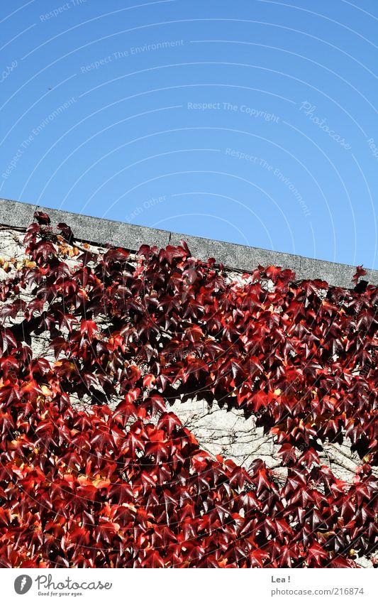 es herbstet... Himmel blau rot Blatt Farbe Herbst Wand Umwelt Fassade ästhetisch Jahreszeiten Schönes Wetter Blauer Himmel Kletterpflanzen Herbstbeginn