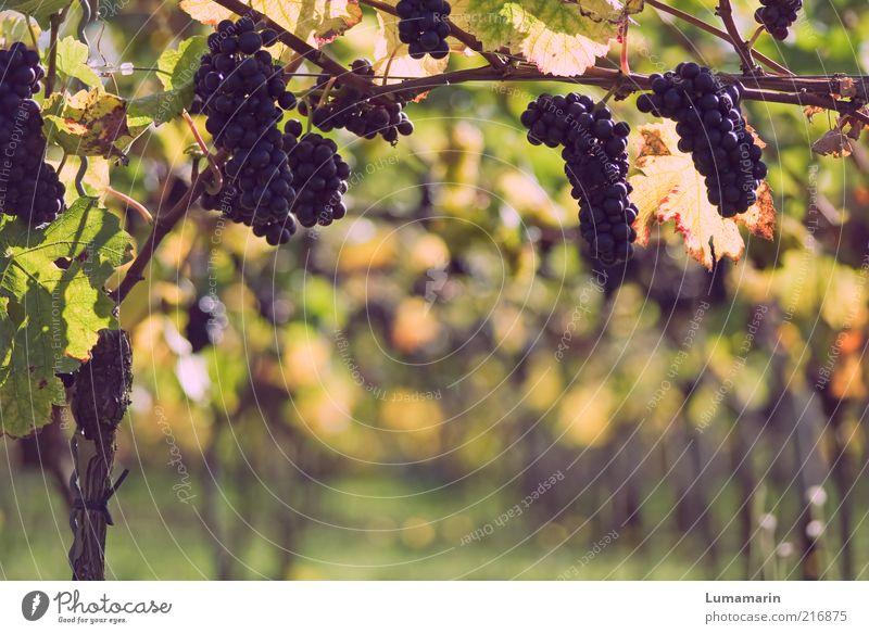 Spätlese Natur schön Pflanze Herbst hell Feld Lebensmittel Umwelt Frucht frisch Ordnung ästhetisch süß Wachstum Wein natürlich