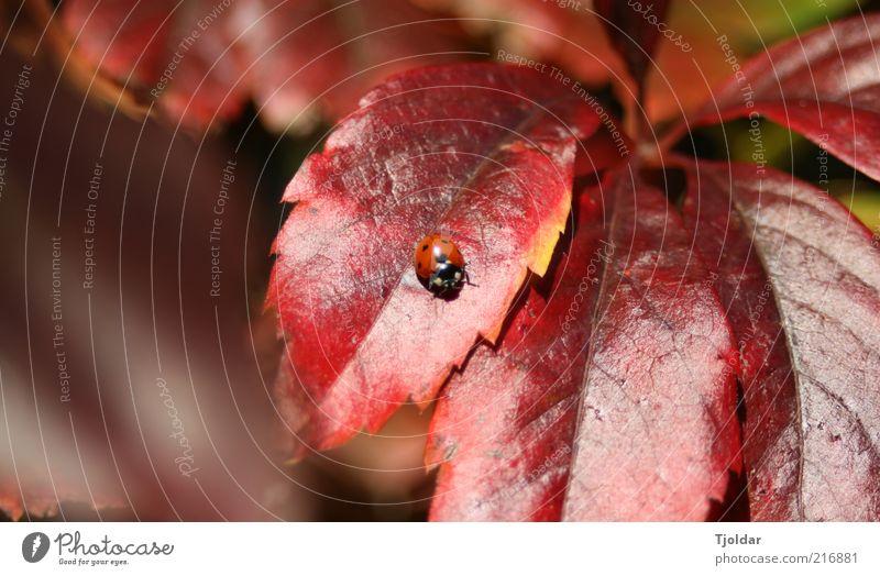 Mary the Ladybird Natur Pflanze Tier Herbst Schönes Wetter Blatt Wilder Wein Marienkäfer Insekt braun rot Farbfoto Außenaufnahme Detailaufnahme Menschenleer