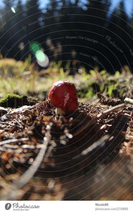 Durchbruch Natur Pflanze Wald Herbst Gras Erde Wachstum Tanne Rauschmittel Pilz Moos Schönes Wetter Gift Blauer Himmel Waldboden Fliegenpilz