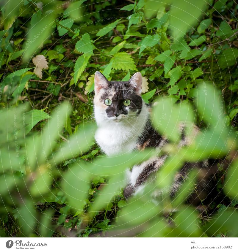 Katzenfotos gehen immer. Natur Landschaft Pflanze Efeu Grünpflanze Garten Tier Haustier Fell 1 entdecken Erholung sitzen klug Wachsamkeit durchdringend Farbfoto