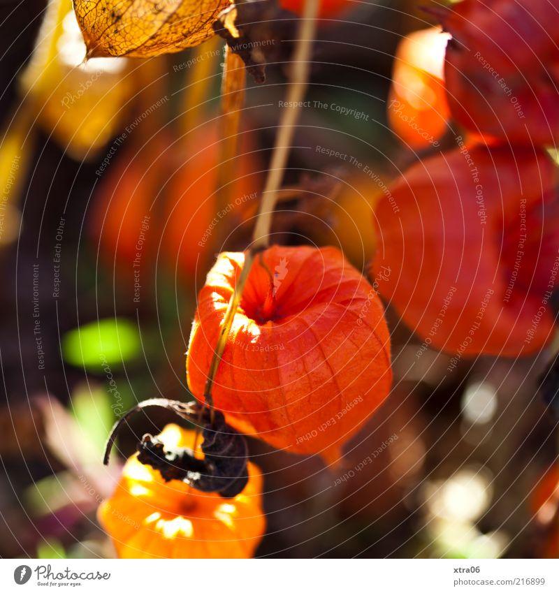 herbst 2 Natur Pflanze rot orange Umwelt ästhetisch außergewöhnlich trocken Physalis