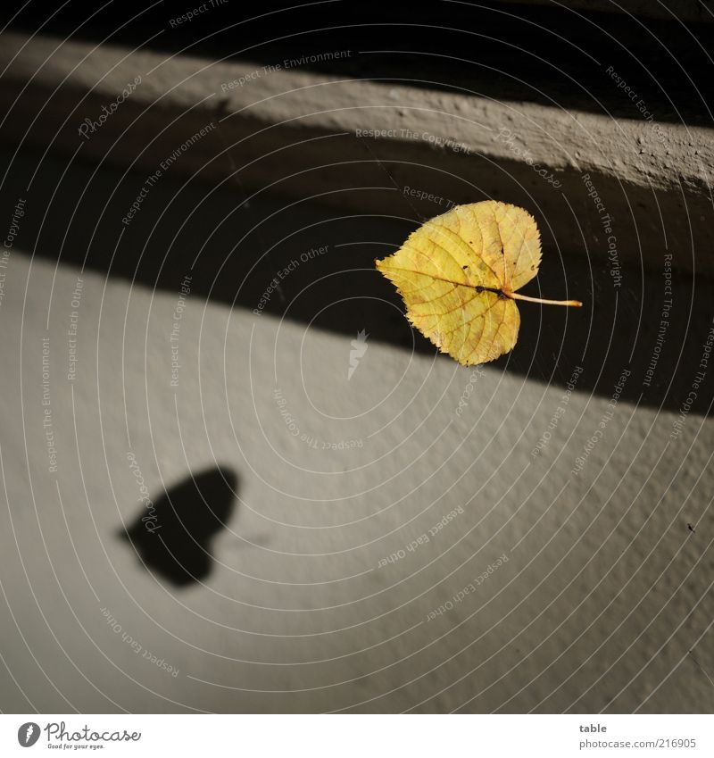 Flugschatten Umwelt Blatt Mauer Wand Fassade fallen fliegen alt gelb gold grau schwarz Gefühle Natur Vergänglichkeit Wandel & Veränderung Blattadern Stengel