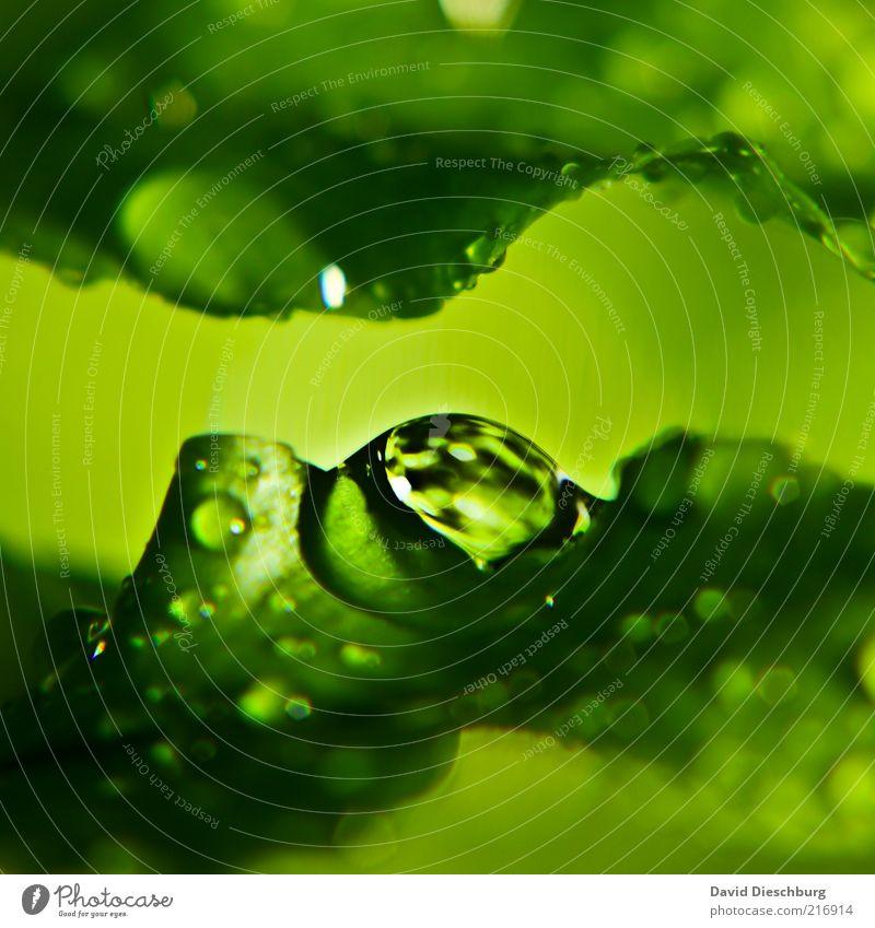 Wenn der Himmel mit den Bättern Natur Wasser grün Pflanze Blatt ruhig Leben Frühling Regen nass Wassertropfen feucht Tau Makroaufnahme Grünpflanze
