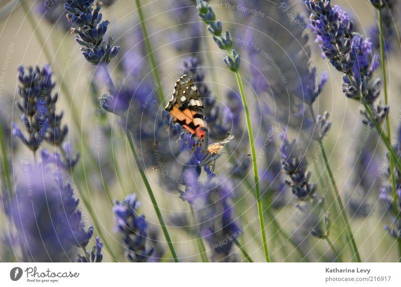 lila-rot-grün Umwelt Natur Frühling Sommer Schönes Wetter Pflanze Blume Tier Wildtier Schmetterling 1 natürlich wild violett Makroaufnahme Fühler Farbfoto