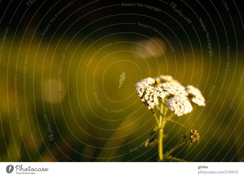 Schafgarbe Pflanze Gras Gewöhnliche Schafgarbe Kräuter & Gewürze Wiese ruhig grün sanft Farbfoto Außenaufnahme Detailaufnahme Menschenleer Textfreiraum links