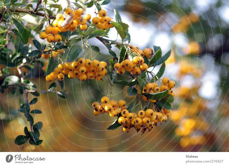 Sanddornzweig Natur Pflanze orange Sträucher leuchten Schönes Wetter Frucht