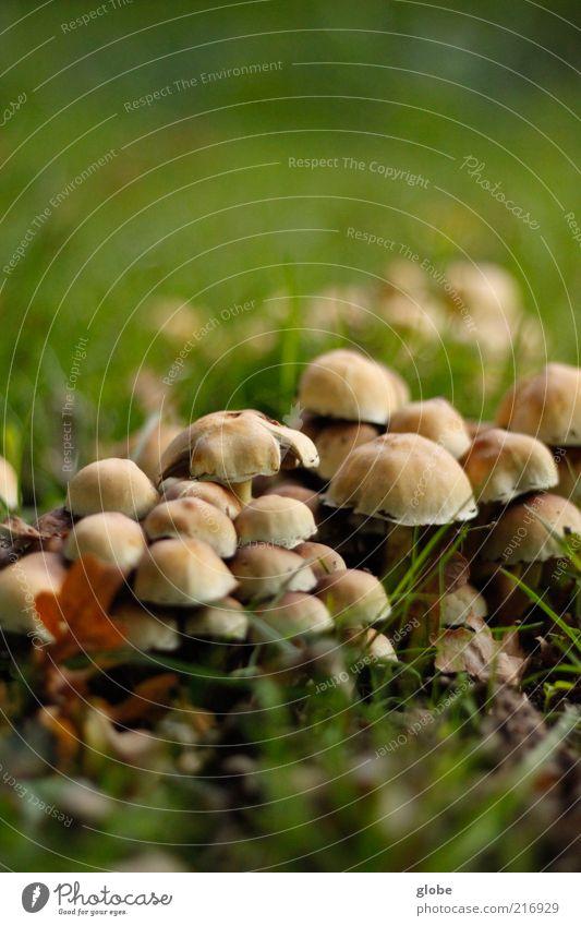 Pilzstapel Wiese Wachstum ruhig Rasen Farbfoto Außenaufnahme Makroaufnahme Textfreiraum oben Textfreiraum unten Tag Unschärfe Froschperspektive bräunlich viele