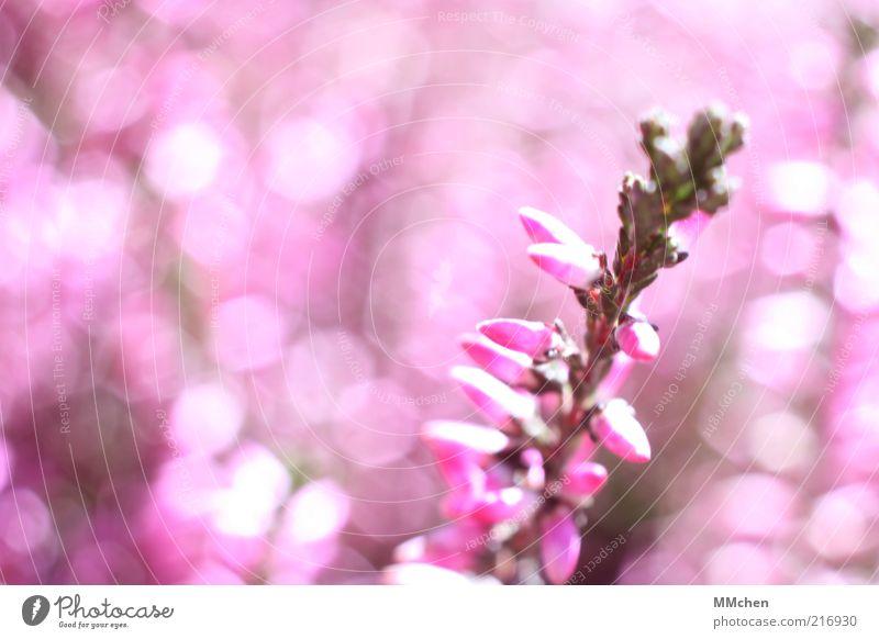 Pinky rosa grün Bergheide Pflanze Blume Blüte glänzend Blütenknospen Heidekrautgewächse Unschärfe Menschenleer Natur