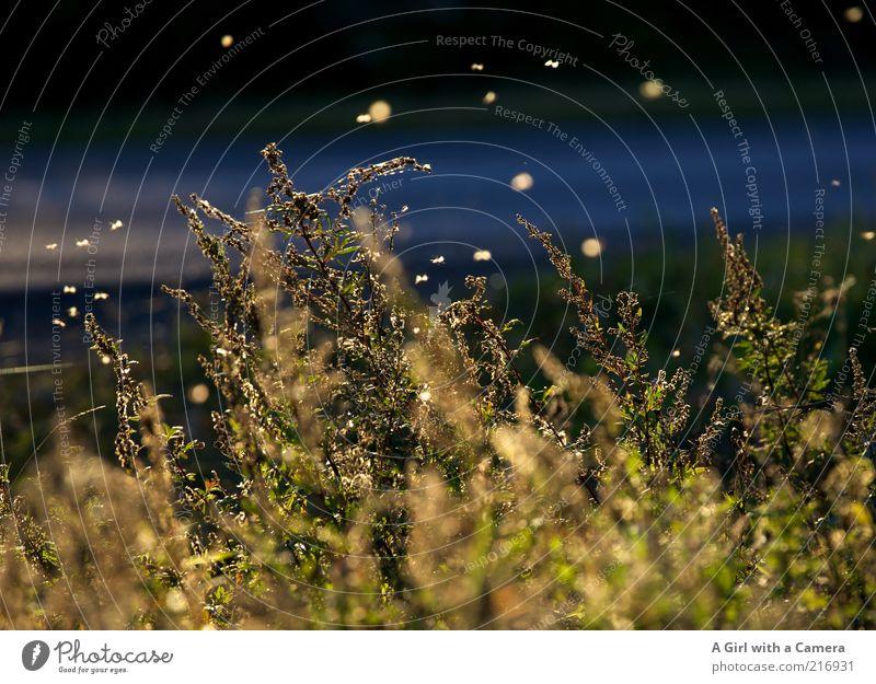 dancing in the dusk Natur Pflanze Herbst Schönes Wetter Blatt fliegen glänzend natürlich blau gelb gold Fliege Leuchtkäfer Schwarm Gras Straße Querformat