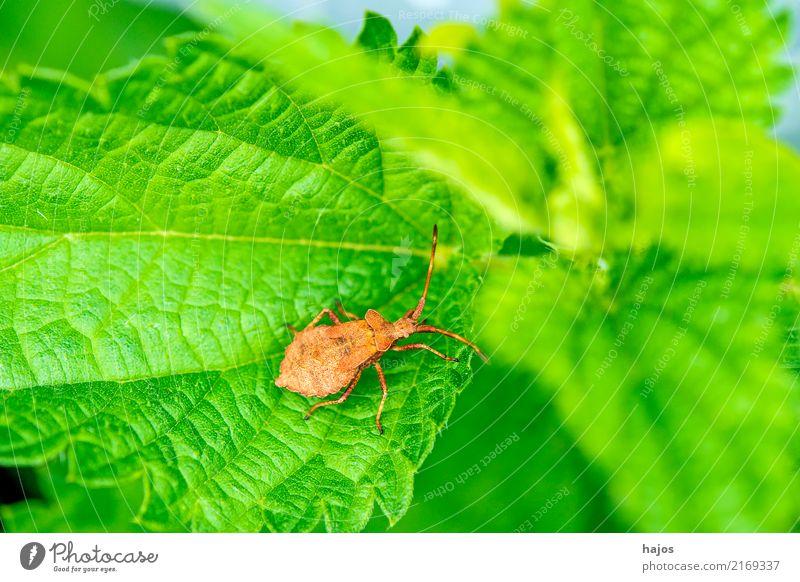 Lederwanze, Nymphe auf Blatt Natur Tier braun grün Große Randwanze Saumwanze Wanze jung Entwicklung Stadium Insekt Heteroptera Schädling Panzer Zoologie