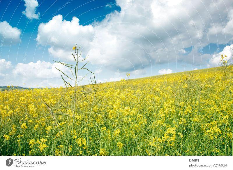Rapsfeld Natur Landschaft Pflanze Wolken Horizont Frühling Klima Wetter Blüte Nutzpflanze Feld Frühlingsgefühle schön Zufriedenheit Idylle Kraft Umwelt Zeit