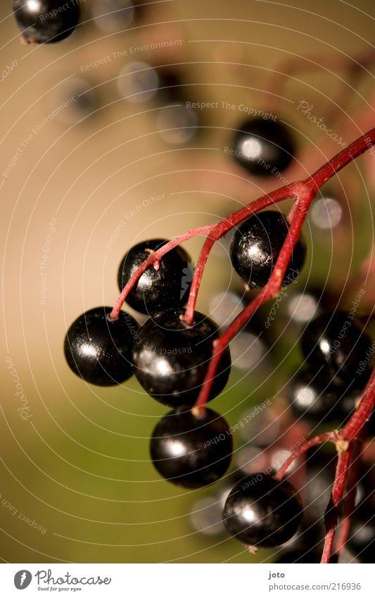 Holunderbeeren Frucht Beeren Vegetarische Ernährung Gesunde Ernährung Natur Pflanze Sträucher frisch Gesundheit lecker süß wild saftig Holunderbusch schwarz
